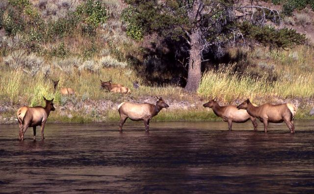 Elk in Madison River Picture