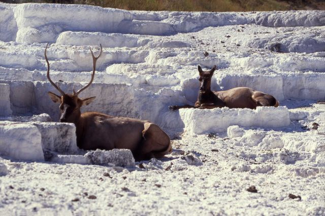 Elk on Opal Terrace Picture