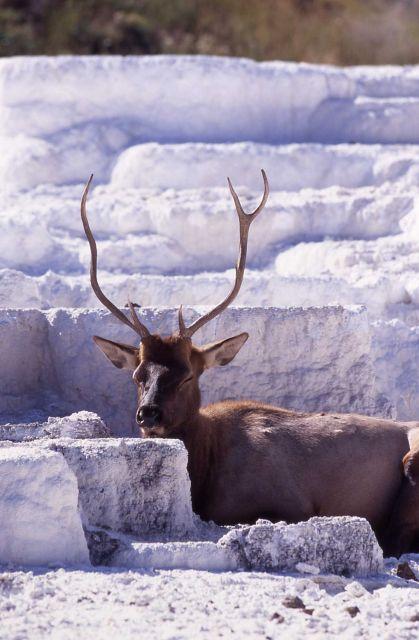 Bull elk on Opal Terrace Picture