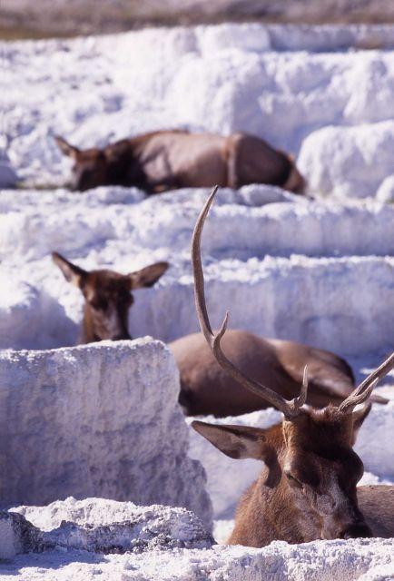 Bull elk & two cow elk on Opal Terrace Picture