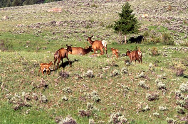 Elk cows & calves near Mammoth Hot Springs Picture