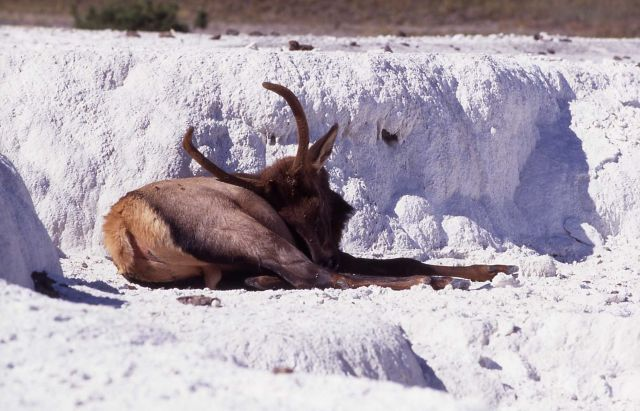 Spike elk on Opal Terrace Picture