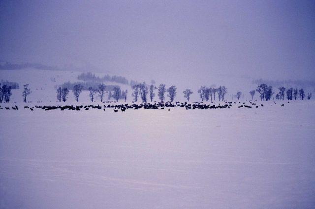 Elk herd in winter in Lamar Valley Picture