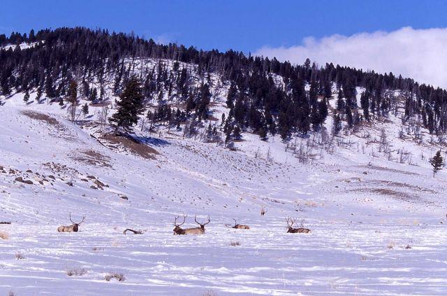 Six bull elk in winter near Wraith Falls trailhead Picture
