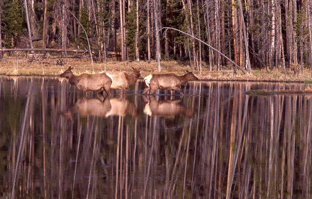 Elk in pond south of Frying Pan Springs Picture