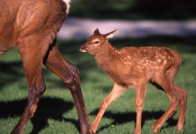 Elk calf at Mammoth Hot Springs Picture