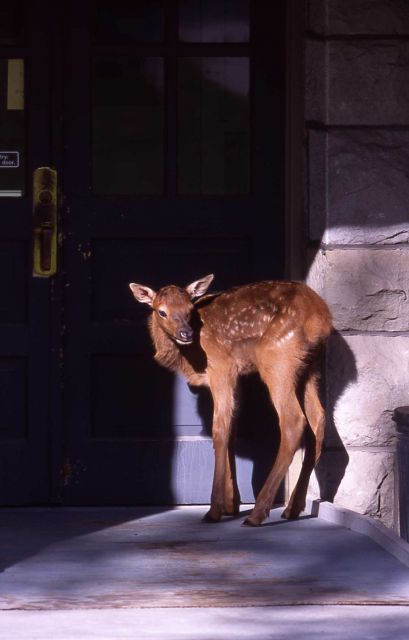 Elk calf by door of Administration Offices in Mammoth Hot Springs Picture