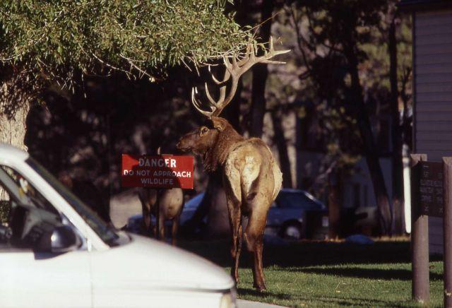 Aggressive bull elk in Mammoth Hot Springs Picture