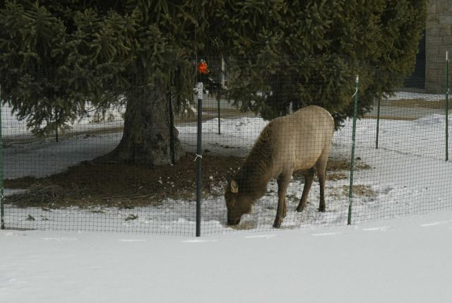 Cow elk in winter inside elk fence near the Administration Offices in Mammoth Hot Springs Picture