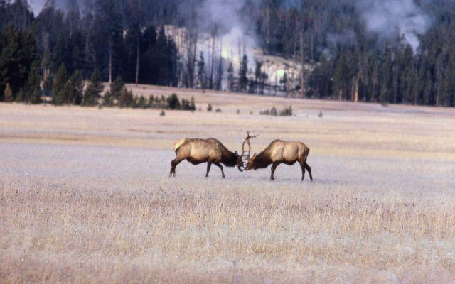 Bull elk fighting Picture
