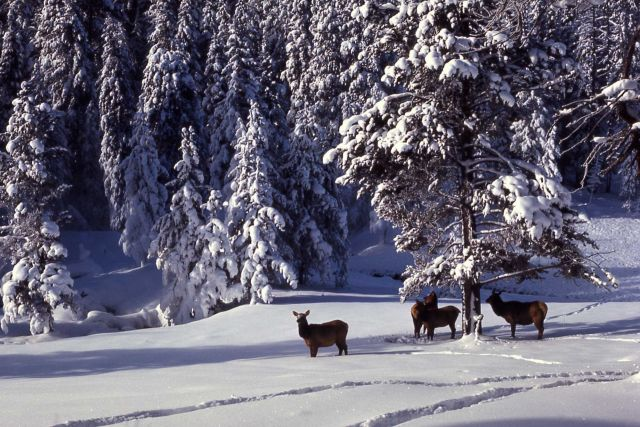 Elk in snow near Roaring Mountain Picture