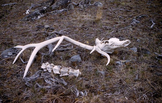Elk carcass Picture