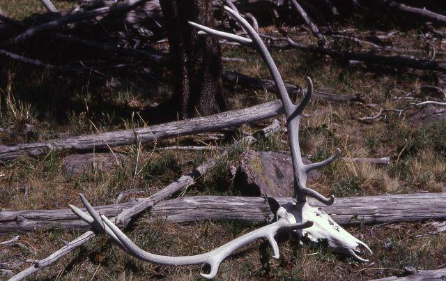Elk rack with skeleton head Picture