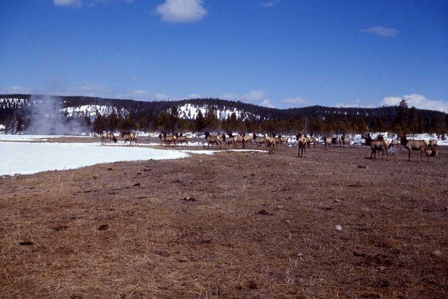 Elk wintering along Firehole River Picture