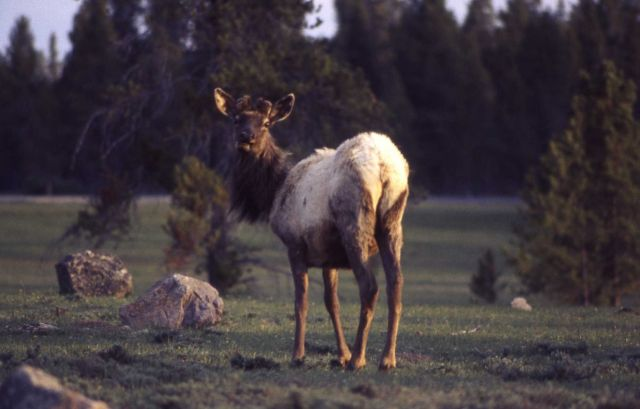 Elk Picture
