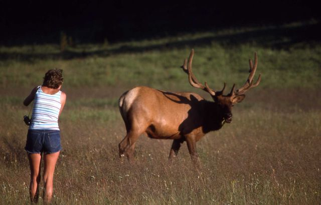 Bull elk & visitor Picture