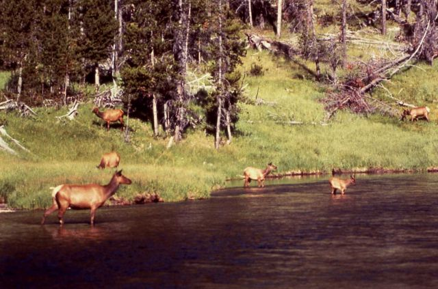 Elk along the Yellowstone River Picture