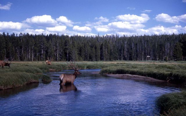 Bull elk in water Picture
