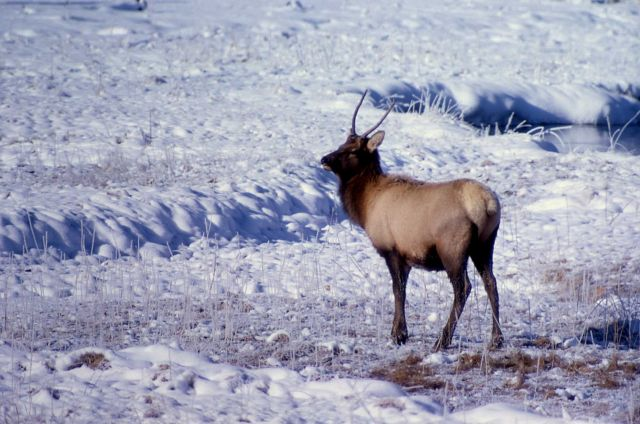 Spike elk at Gibbon Meadows Picture
