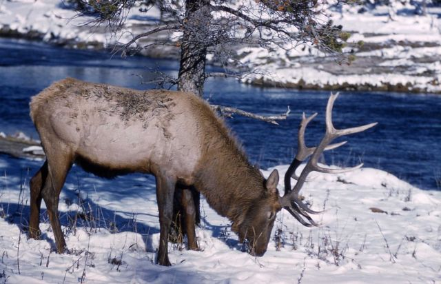 Elk in snow Picture
