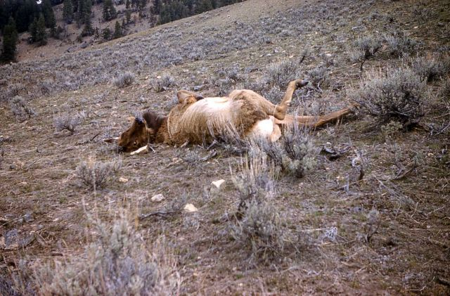 Cow elk unable to get up Picture