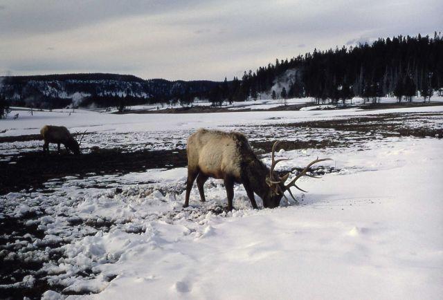 Bull elk feeding in snow Picture