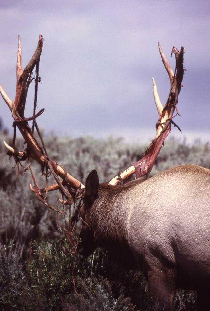Bull elk shedding velvet Picture