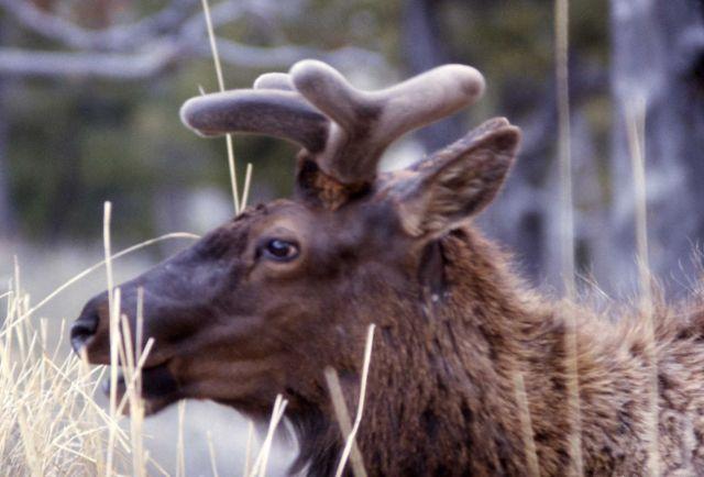 Bull elk growing antlers Picture