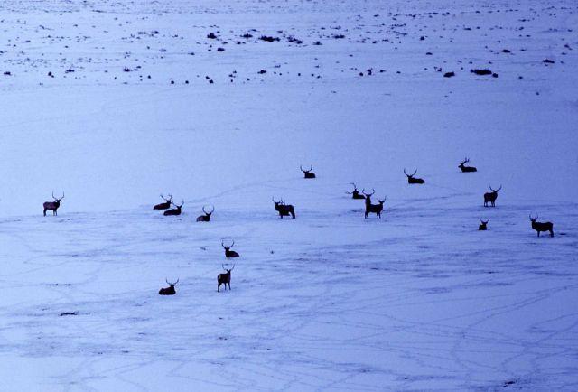 Elk in Lamar Valley in winter Picture