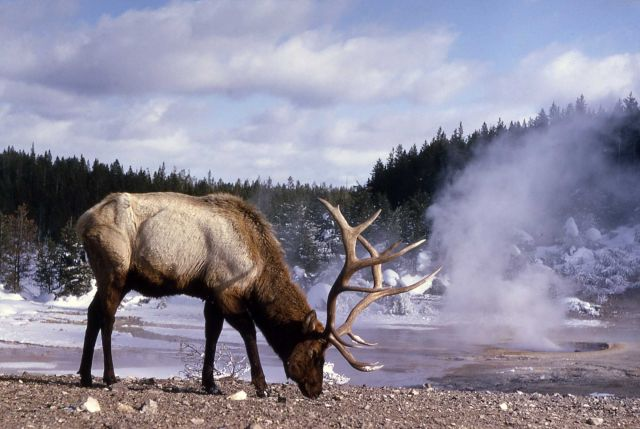 Elk at Norris Picture