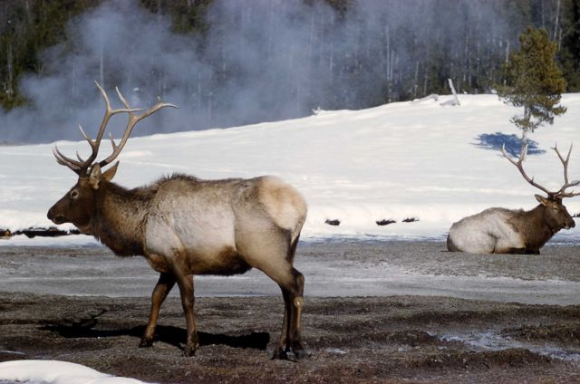 Bull elk in winter in Old Faithful area Picture