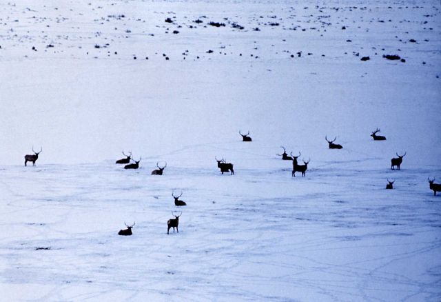 Winter scene of bull elk Picture