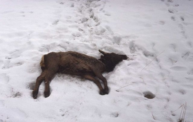 Dead elk on snowbank Picture