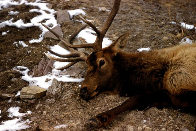 Dying bull elk Picture