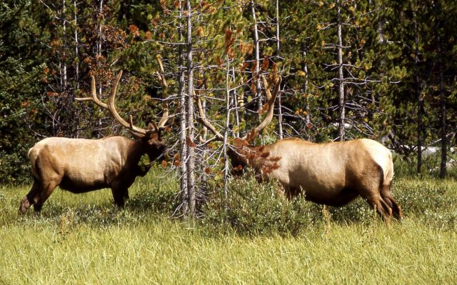 Two bull elk in velvet Picture