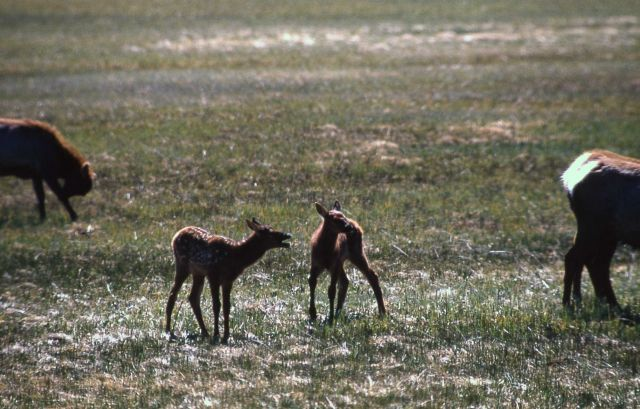 Two elk calves Picture