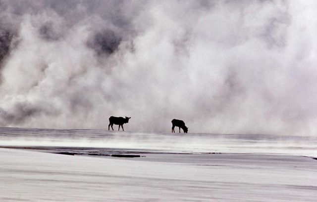 Elk in geyser basin steam in winter Picture