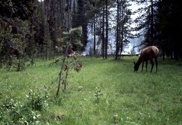 Elk grazing near fire near Grizzly Lake trailhead Picture