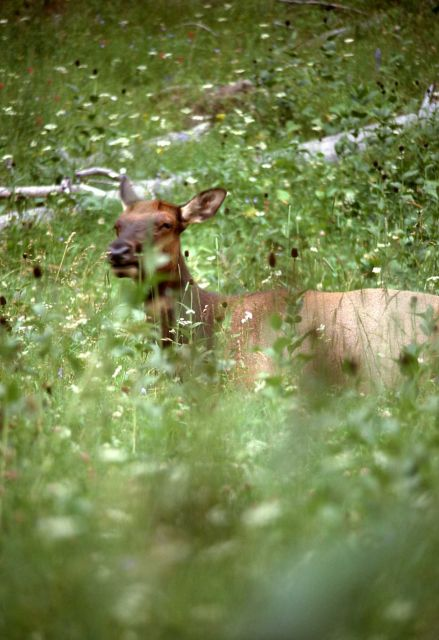 Close up of cow elk in meadow grass Picture