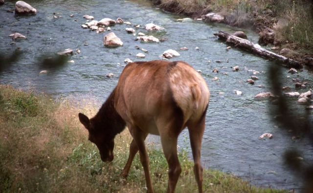 Cow elk eating near river Picture