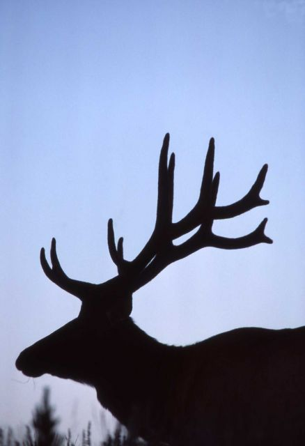 Head silhouette of bull elk Picture