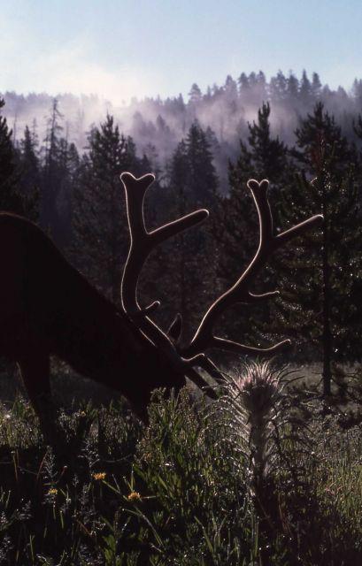 Bull elk & elk thistle Picture
