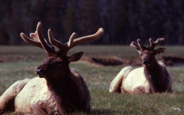 Bull elk in Gibbon Meadows Picture
