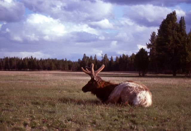 Bull elk on Fountain Flats Picture