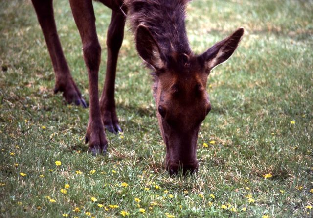 Cow elk chewing Picture
