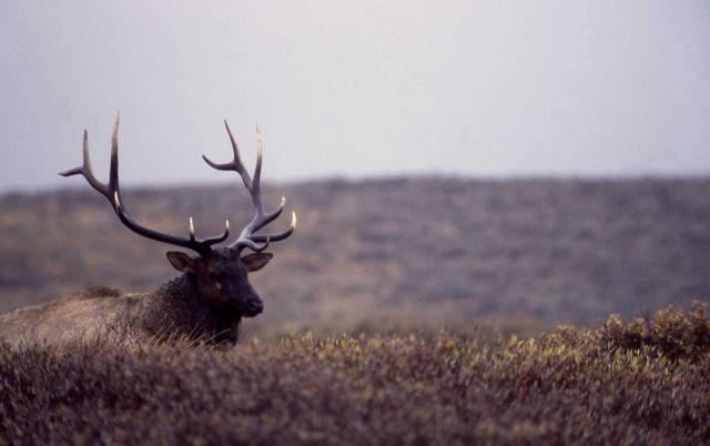 Bull elk on Swan Lake Flats Picture