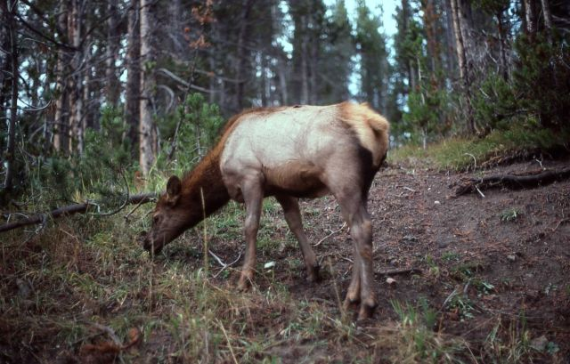 Yearling elk Picture