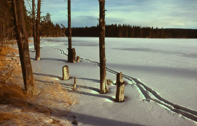 Elk tracks in snow at Goose Lake Picture