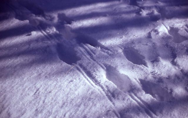 Elk tracks in snow Picture