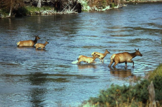 Cow elk & calves crossing the Madison River Picture